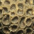 Live Coral Polyps