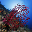 Live Red Coral Branch