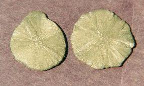 Radiating Pyrite Dollars